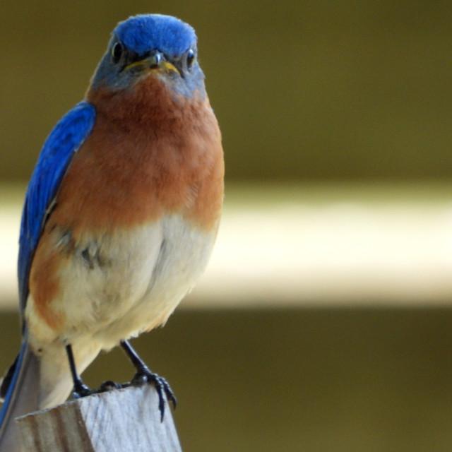 """Bluebird Stare"" stock image"
