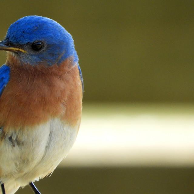 """Bluebird Profile"" stock image"