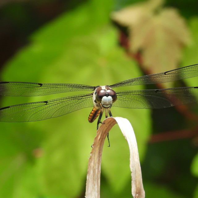 """""""Dragonfly against leafy background"""" stock image"""