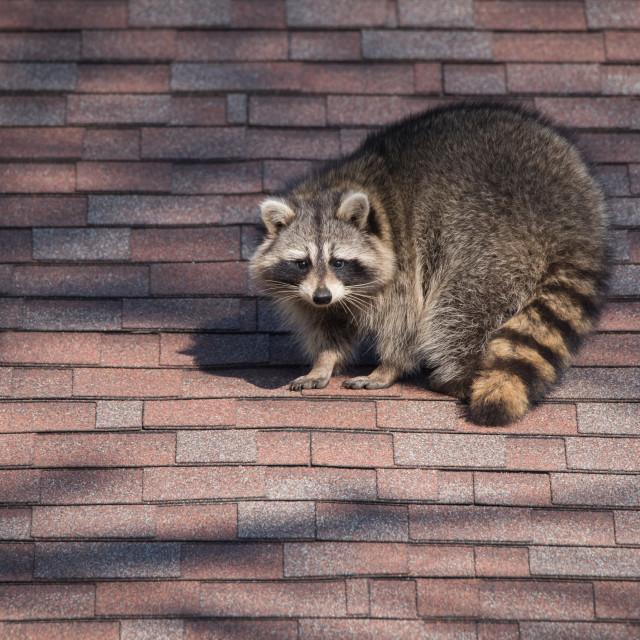 """Raccoon On Roof in Toronto, Ontario"" stock image"