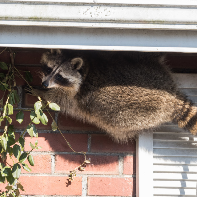 """""""""""Masked Bandit"""" Raccoon Breaking Into House in Toronto, Canada"""" stock image"""