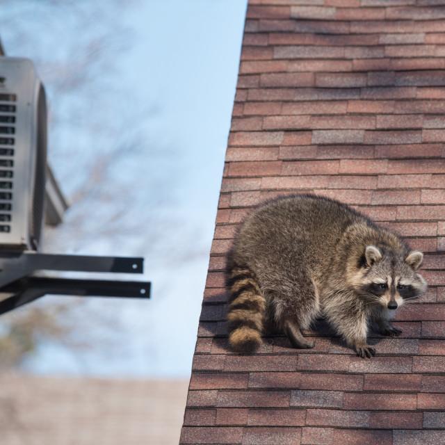 """Urban Raccoon On Roof in Toronto, Canada"" stock image"