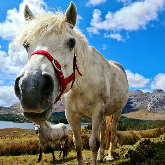 """Friendly Connemara!!"" stock image"