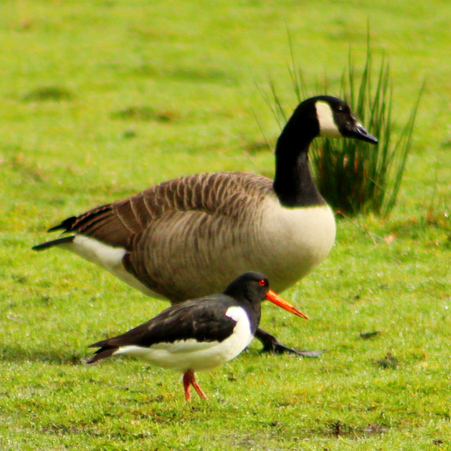 """""""Canada Goose and Oystercatcher"""" stock image"""