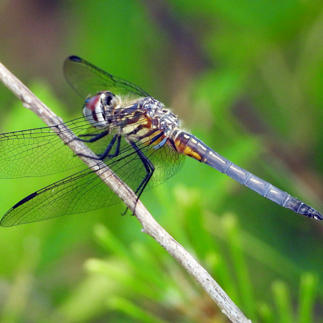 """""""Colorful Dragonfly"""" stock image"""