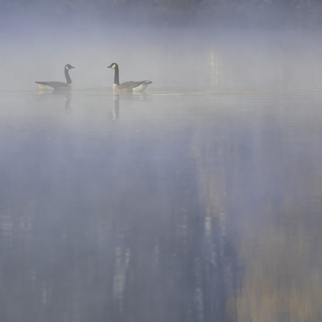 """""""Canada Geese in mist"""" stock image"""
