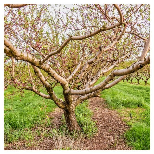 """Bloming Tree"" stock image"