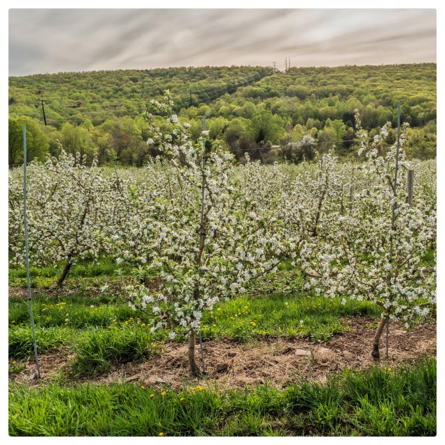 """""""Hill Side Orchard"""" stock image"""