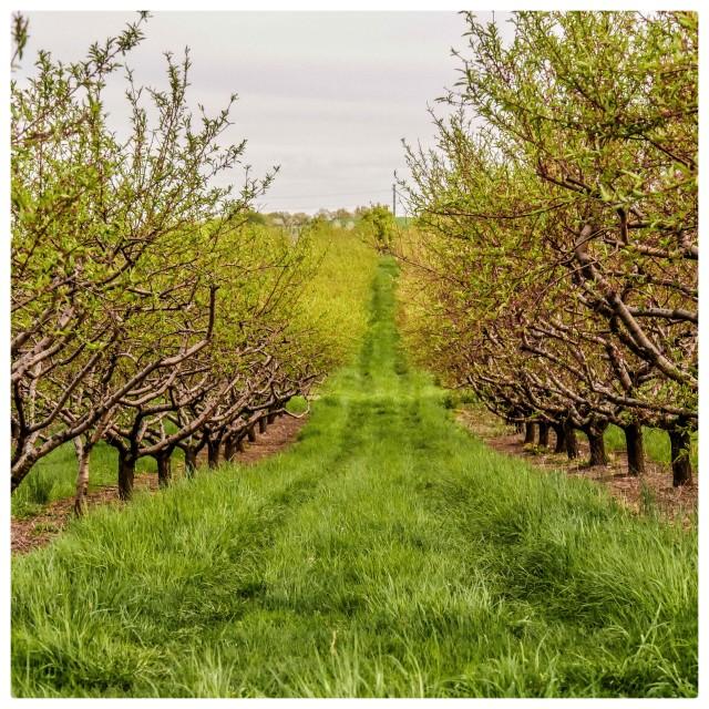 """Apple Row"" stock image"