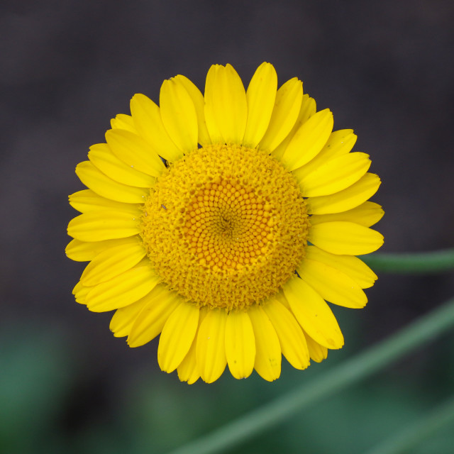 """Corn Marigold"" stock image"