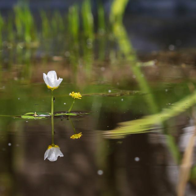 """Water Crowfoot"" stock image"