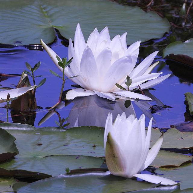 """White Waterlilies - Image 16"" stock image"