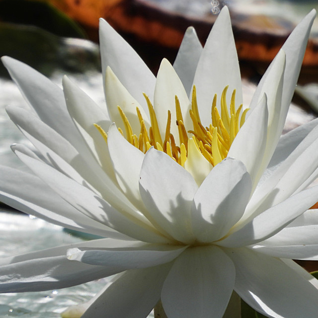 """White Waterlilies - Image 18"" stock image"