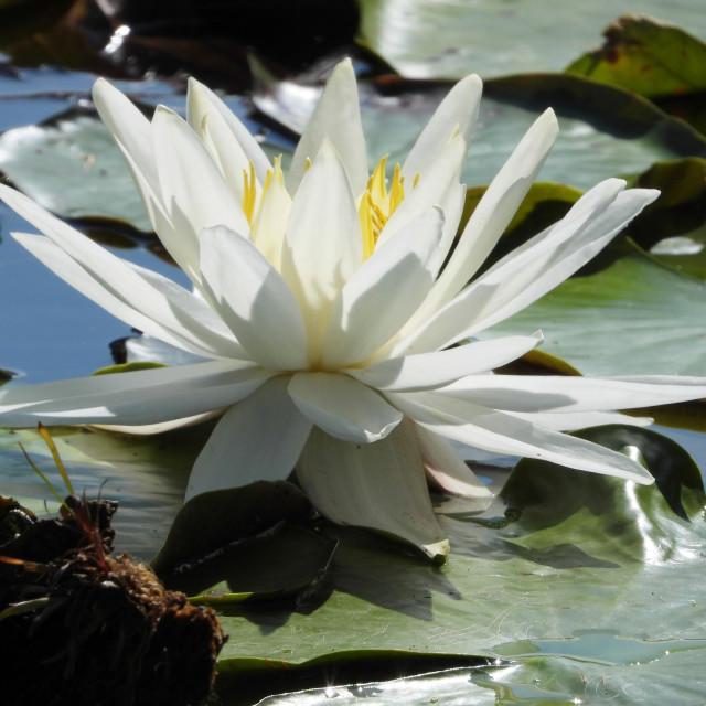 """White Waterlilies - Image 19"" stock image"