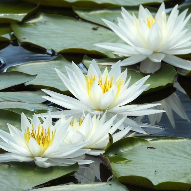 """White Waterlilies - Image 20"" stock image"
