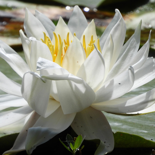 """White Waterlilies - Image 21"" stock image"