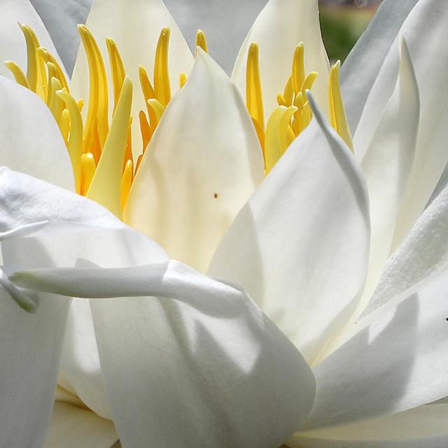 """White Waterlilies - Image 22"" stock image"