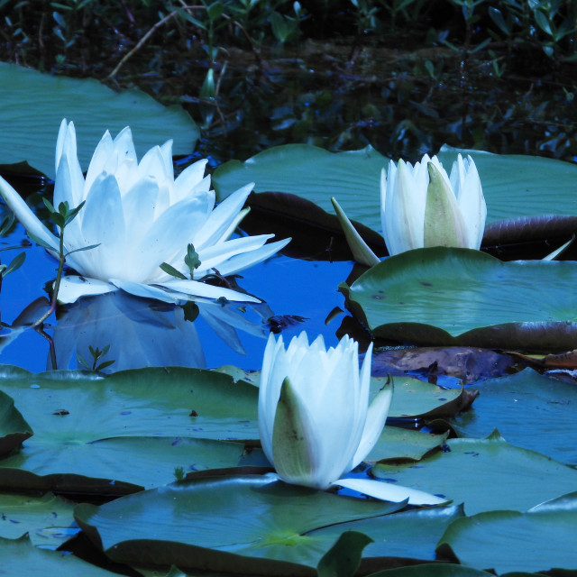 """White Waterlilies - Image 23"" stock image"