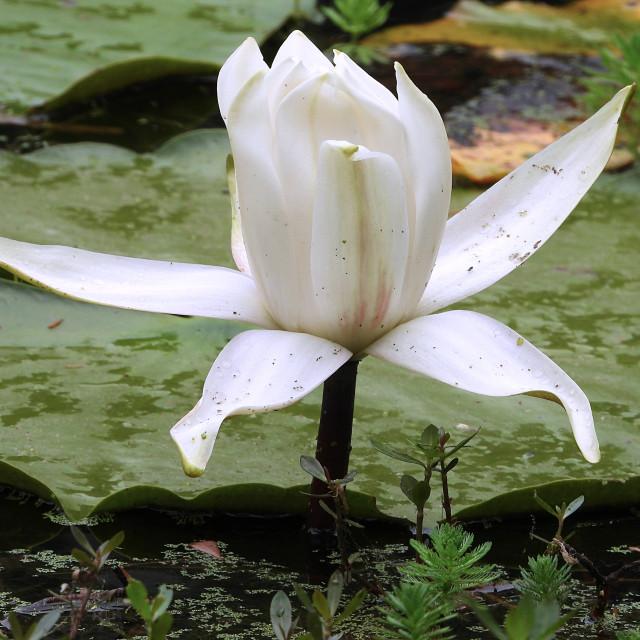 """White Waterlilies - Image 24"" stock image"