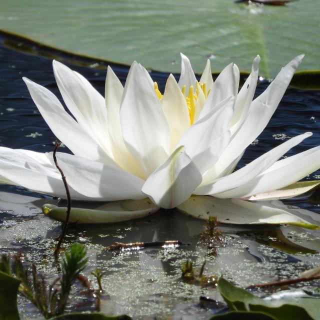 """White Waterlilies - Image 25"" stock image"