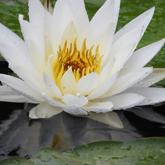 """White Waterlilies - Image 26"" stock image"