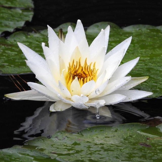 """White Waterlilies - Image 27"" stock image"