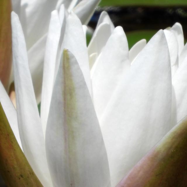 """White Waterlilies - Image 28"" stock image"