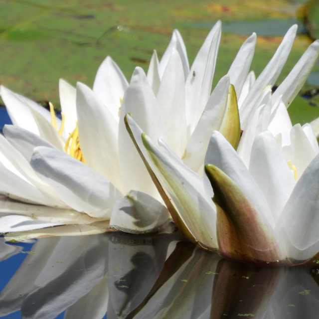 """White Waterlilies - Image 31"" stock image"
