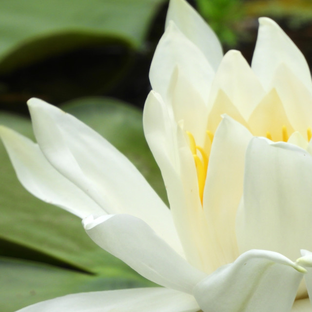 """White Waterlilies - Image 33"" stock image"