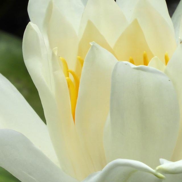 """White Waterlilies - Image 34"" stock image"