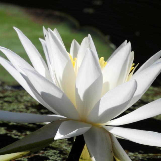 """White Waterlilies - Image 35"" stock image"