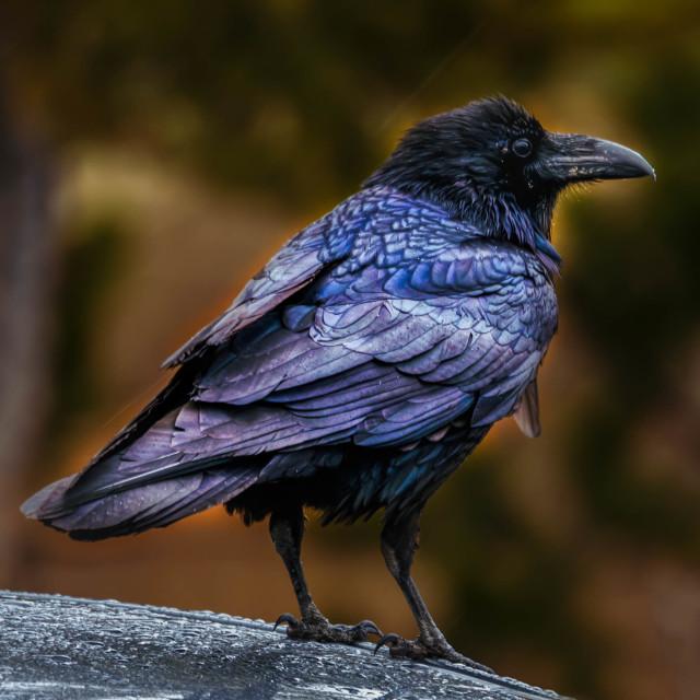 """raven-yellowstone national park-bird-wildlife-"" stock image"