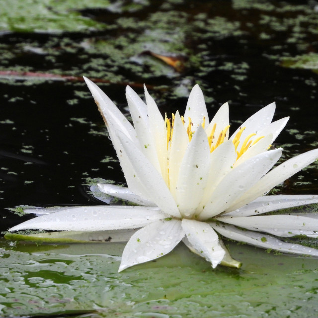 """White Waterlilies - Image 37"" stock image"