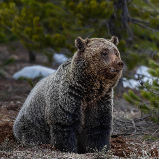 """grizzly bear-grand teton national park-wild-animals"" stock image"