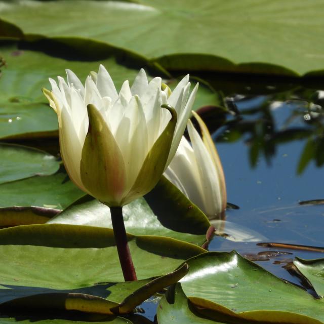 """White Waterlilies - Image 38"" stock image"