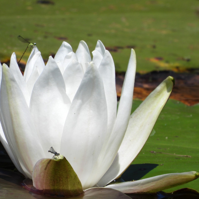 """White Waterlilies - Image 39"" stock image"