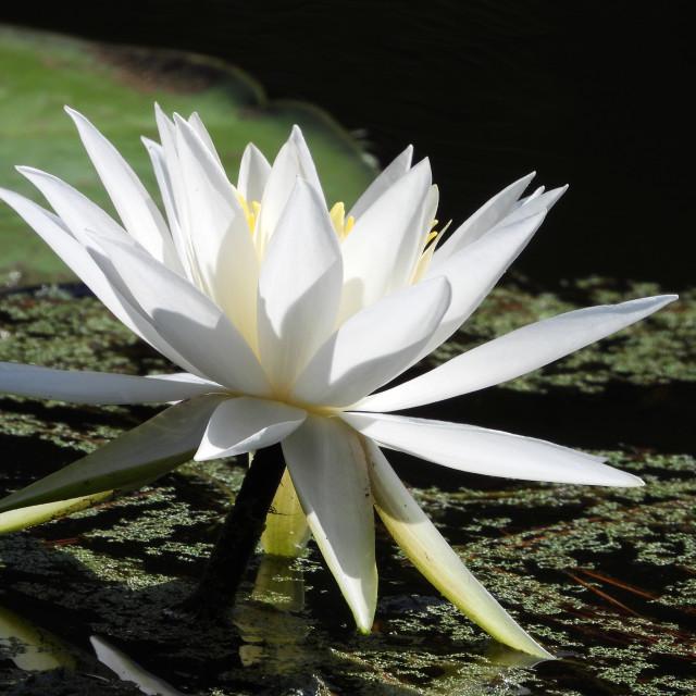 """White Waterlilies - Image 40"" stock image"