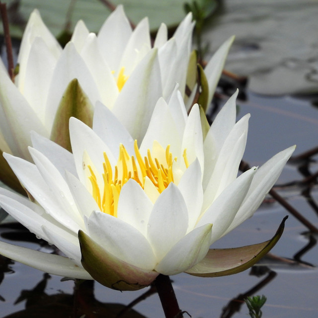 """White Waterlilies - Image 41"" stock image"