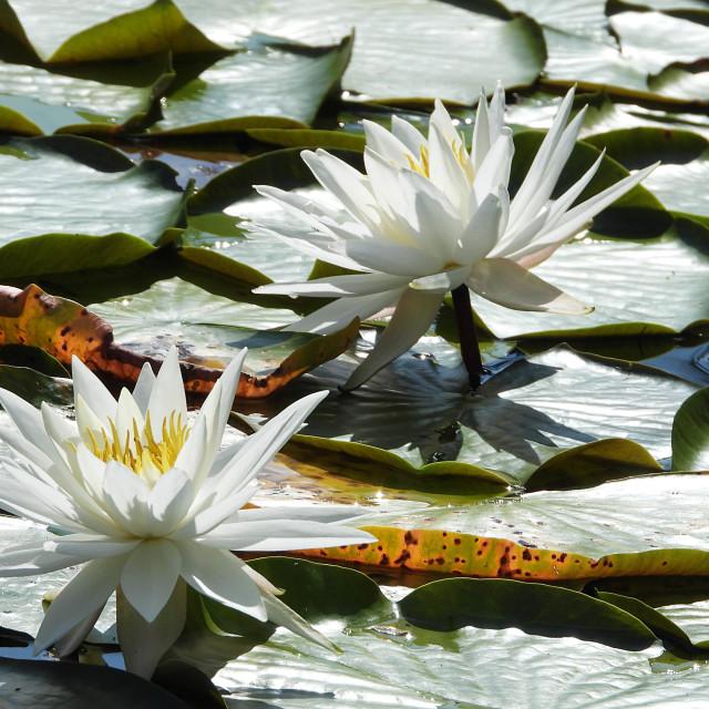"""White Waterlilies - Image 44"" stock image"