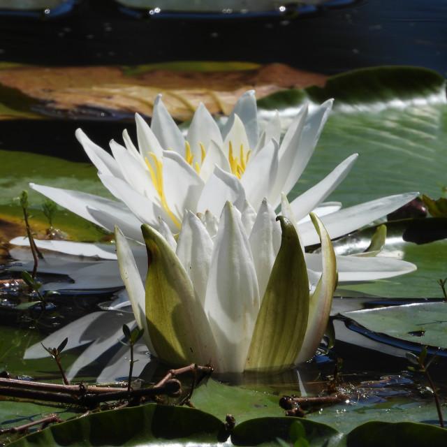 """White Waterlilies - Image 47"" stock image"