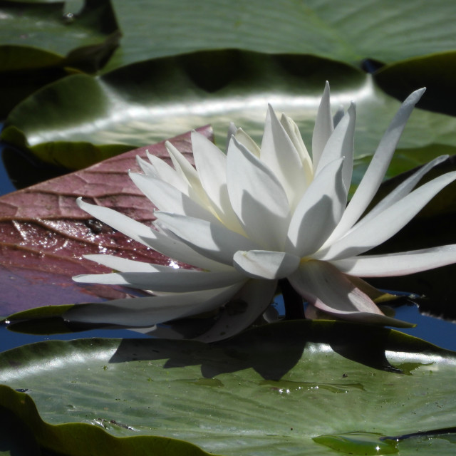 """White Waterlilies - Image 48"" stock image"