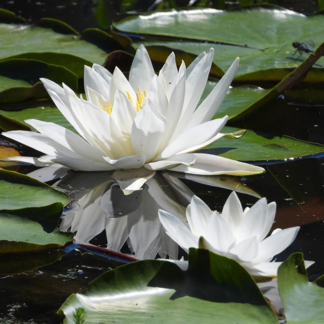 """White Waterlilies - Image 49"" stock image"