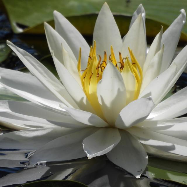 """White Waterlilies - Image 50"" stock image"