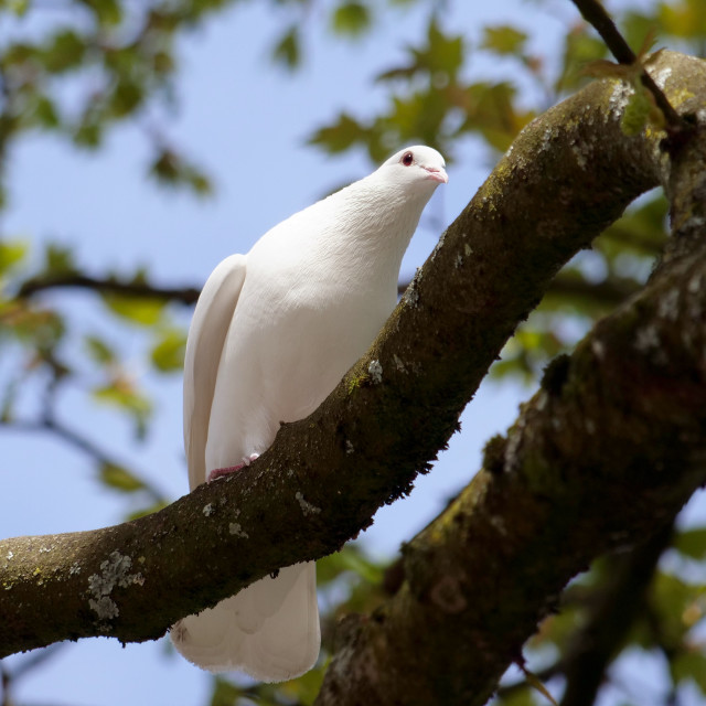 """""""Inquisitive Dove on a Branch"""" stock image"""