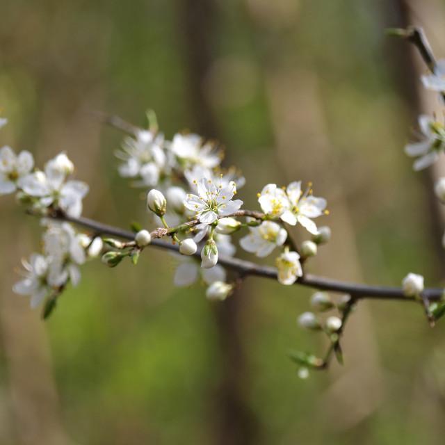 """Blackthorn Blossom"" stock image"