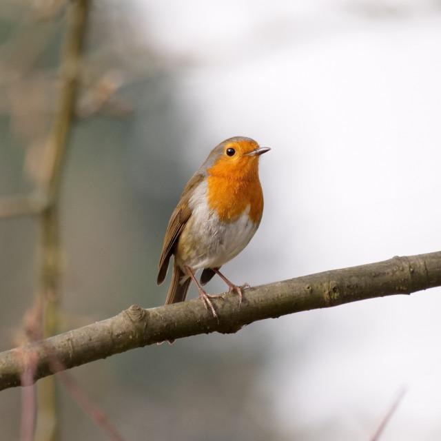 """A Thin Robin Redbreast"" stock image"