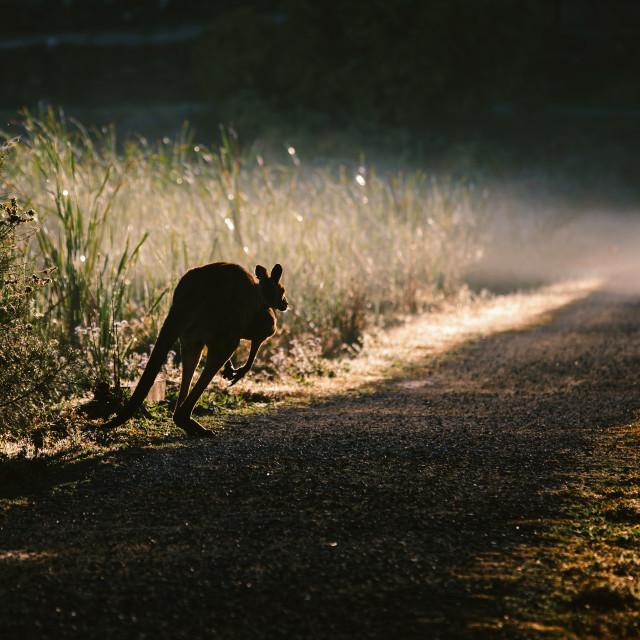 """Kangaroo Way 0312"" stock image"