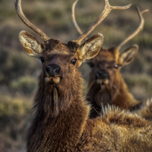 """animal-elk-bulls-wild-grand teton national park"" stock image"
