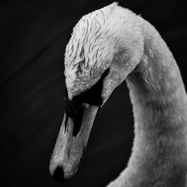 """B&W Swan"" stock image"