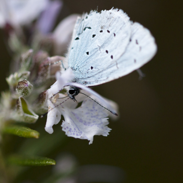 """""""The Small Blue Butterfly"""" stock image"""